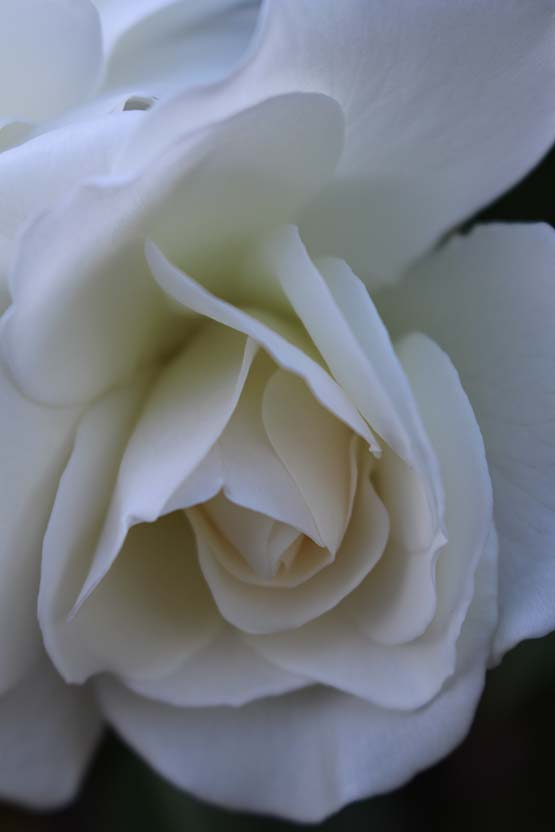 White rose in the garden