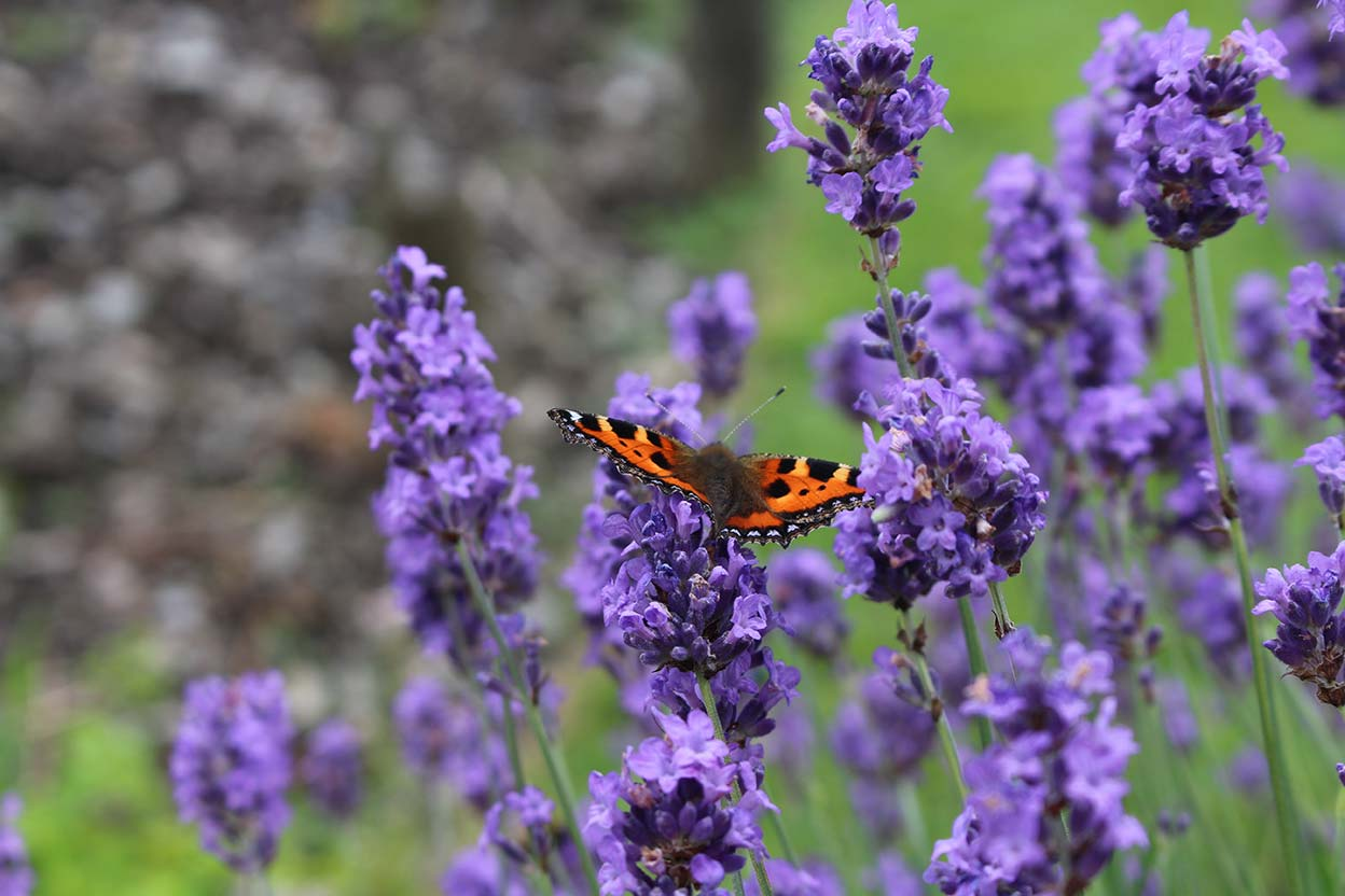 Lavender and small tortoisehell butterfly in the summer