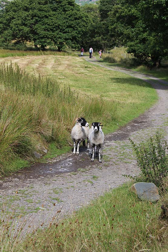 Swaledale ewes on the path to Derwentwater from Manesty