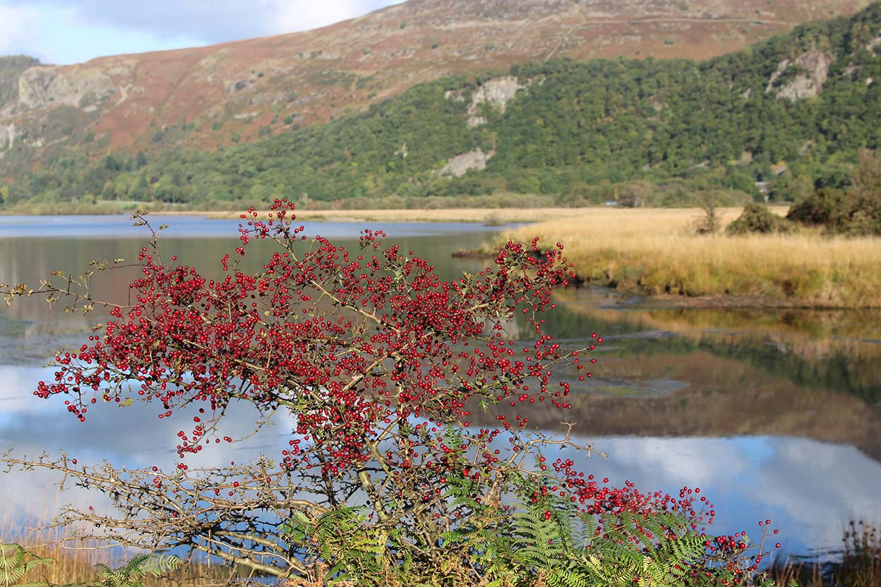 Autumn Hawthorn berries by Derwentwater