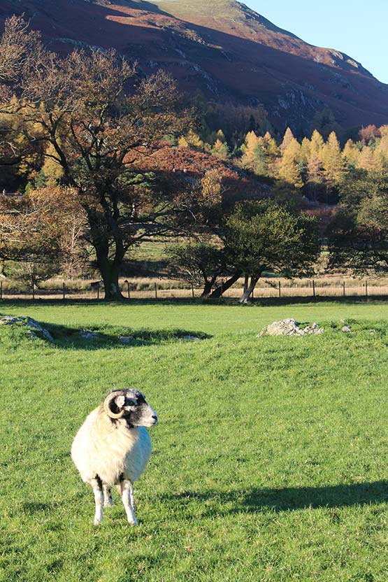 Swaledale ewe in the autumn