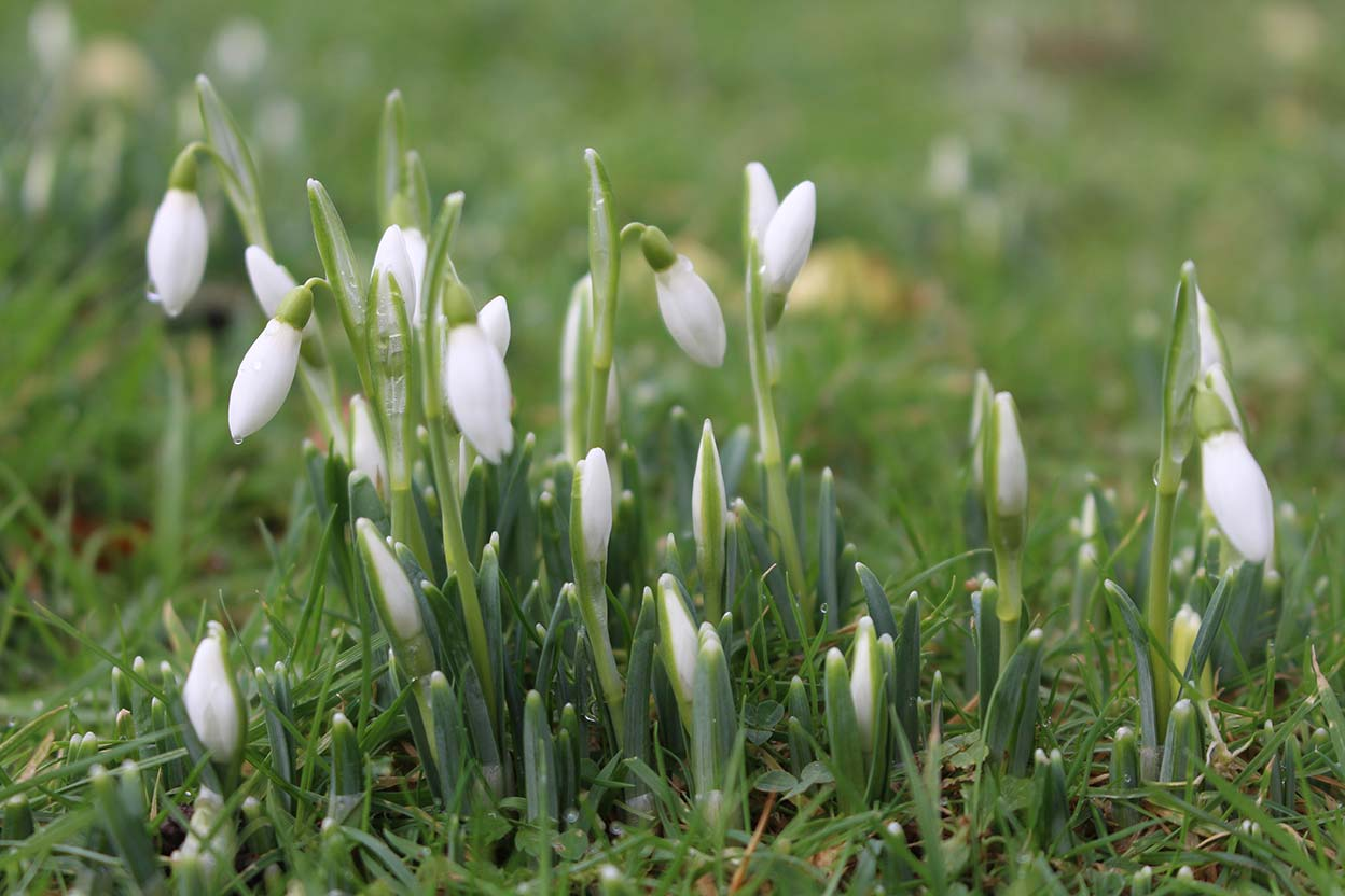 Snowdrops on the lawn in January