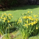Daffodils in the garden at Manesty