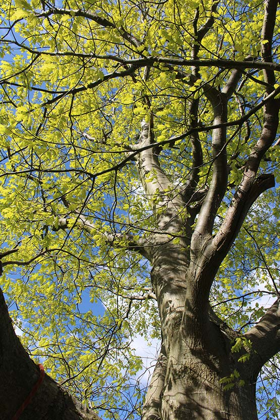 American (pin) oak in spring