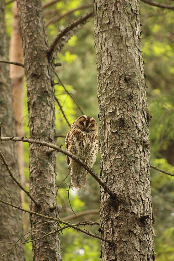 Resting tawny owl in our wooded fellside garden