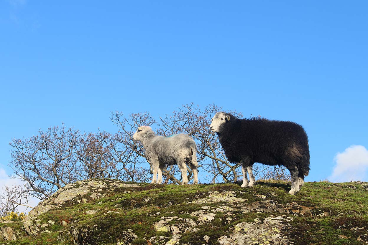 Herdwick ewe and hog (last year's lamb)