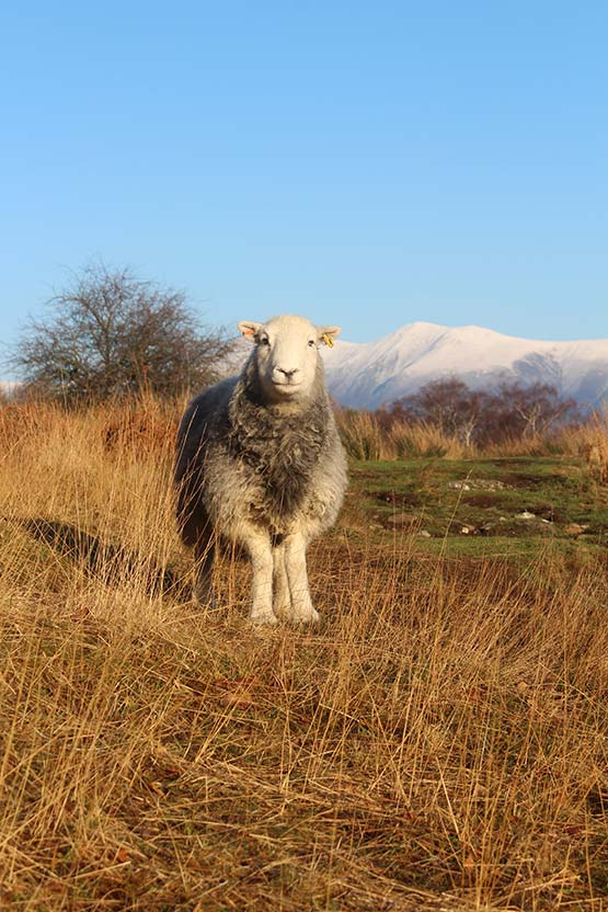 Herdwick ewe in the winter