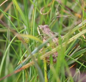 Frog near Derwentwater
