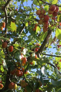 The plum tree in fruit