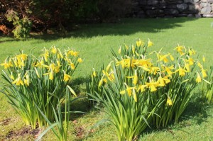 The daffodils are out!