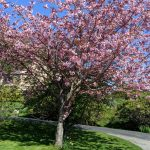Pink flowering cherry tree at Manesty
